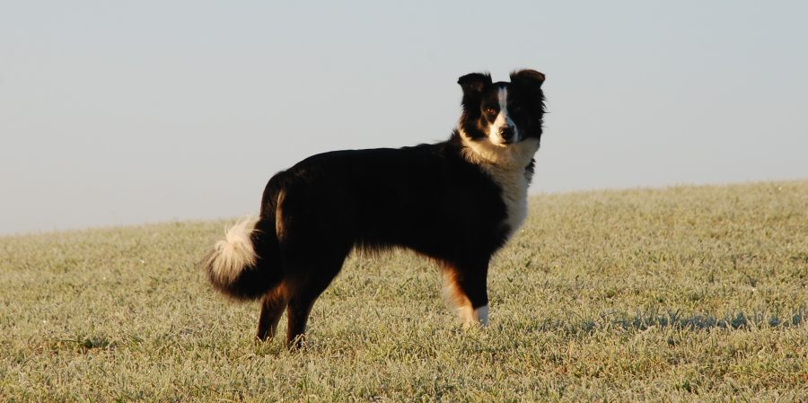 Logo working australian shepherd