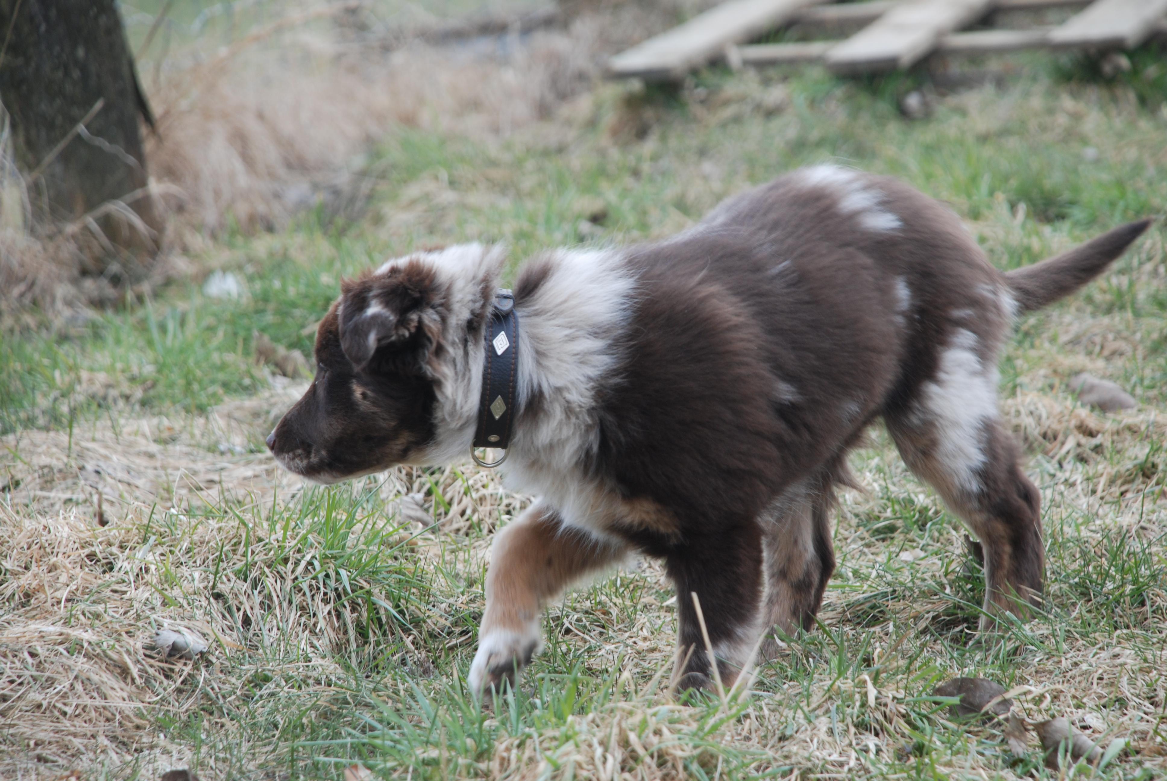 working Australian shepherd
