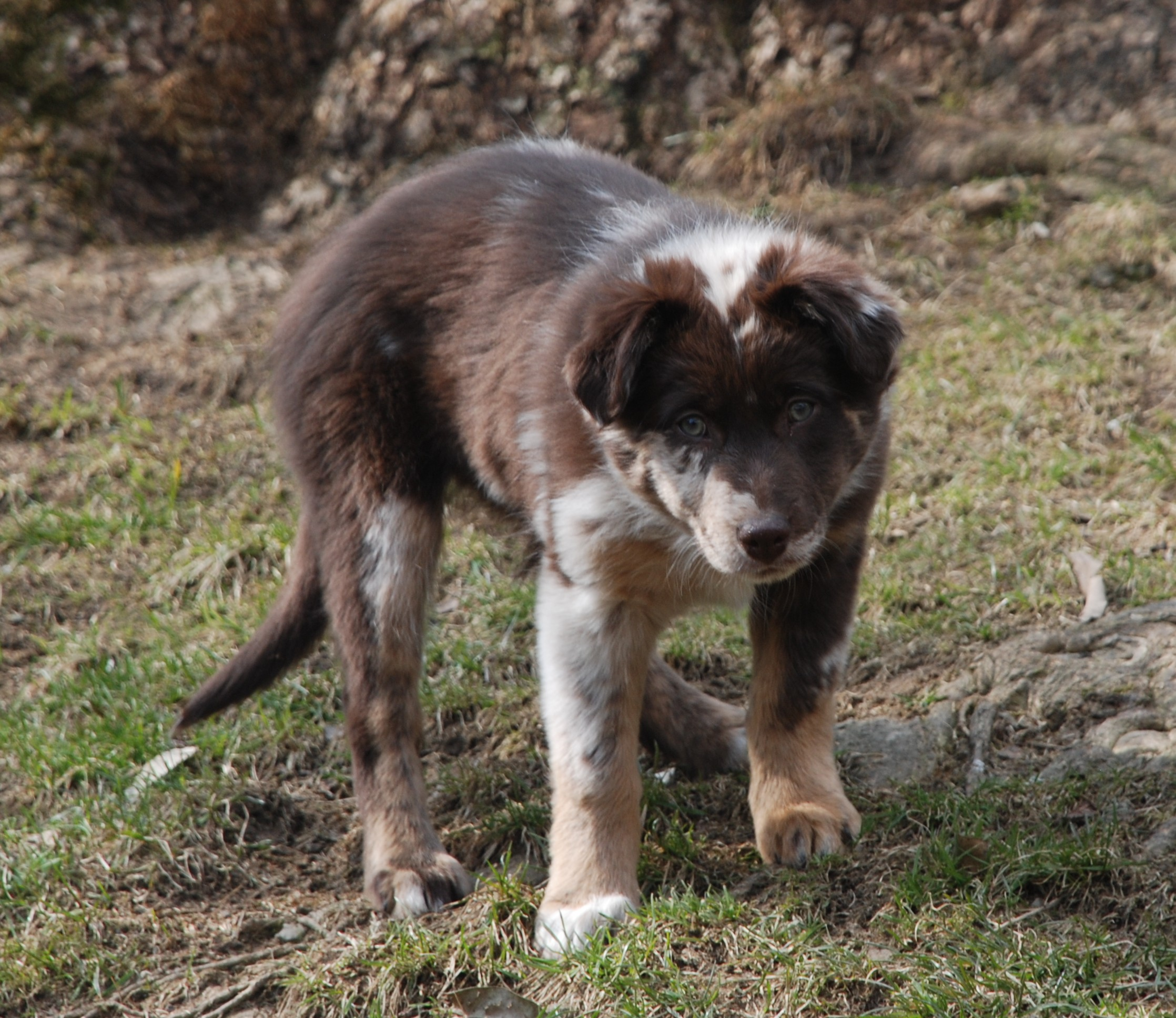 working Australian shepherd